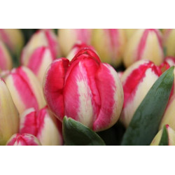 10 TALLOS TULIPANES COLOR A...